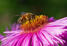 En abeja en una flor Fotos de archivo