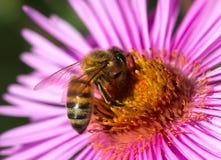 En abeja en una flor Foto de archivo