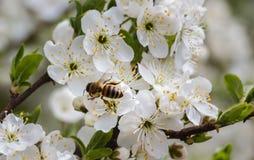 En abril de 2017 abeja en un árbol floreciente Imagen de archivo libre de regalías