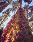En absolut härlig samling av höstsidor på ett sörjaträd Arkivfoto