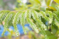 En abstrakt mjuk bakgrund för fokussequoiasidor Arkivfoton
