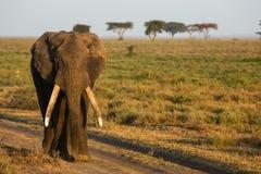 En afrikansk elefant på soluppgång royaltyfri fotografi