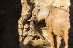 En afrikansk elefant som äter gräs arkivfoton