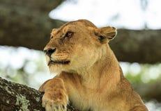 En afrikansk lejoninna som vilar på ett träd royaltyfri foto