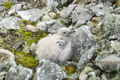 En albatrossfågelunge på vaggar royaltyfria foton