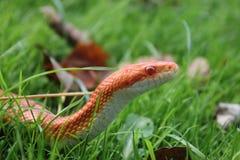 En Albino Snake - snok - Ringelnatter på gräs Royaltyfri Foto