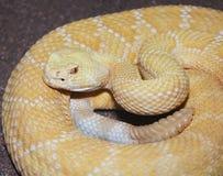 En Albino Western Diamondback Rattlesnake, Crotalusatrox Royaltyfri Fotografi