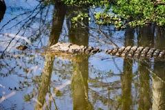 En alligator i träsket Arkivfoton
