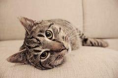 En allvarlig katt som lägger på soffan Royaltyfri Foto