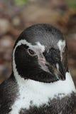 En allvarlig pingvin Royaltyfri Foto