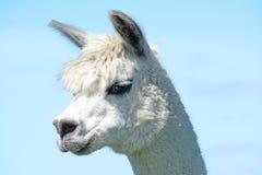 En alpaca Arkivbilder
