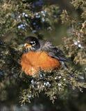 Amerikan Robin (Turdusmigratoriusen) Arkivfoto