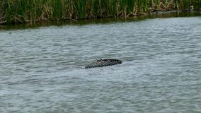 En amerikansk alligator som simmar i vatten på port Aransas, Texas lager videofilmer