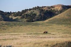 En amerikansk bison betar i grässlättarna av South Dakota Royaltyfri Fotografi
