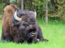 En amerikansk bison i Yellowstone Arkivfoto