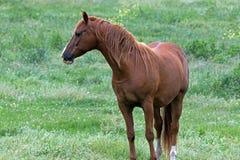 En amerikansk fjärdedelhäst Arkivbild