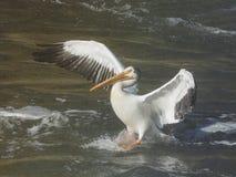 En amerikansk landning för vit pelikan i vatten Arkivbilder