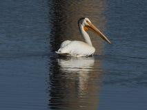 En amerikansk simning för vit pelikan i vatten med reflexion Royaltyfri Bild