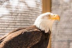En amerikanska skalliga Eagle på zoo arkivbilder