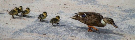 En andmoder som följs av dess fågelungar royaltyfri bild