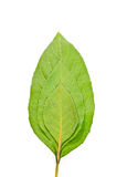 en andra gröna lagda leaves frodig över tre Royaltyfria Bilder