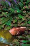 En anemonfisk som når en höjdpunkt ut ur hans skyddande anemonhem Royaltyfri Bild