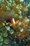 En anemonfisk som vilar i säkerheten av dess anemonhem Arkivbild