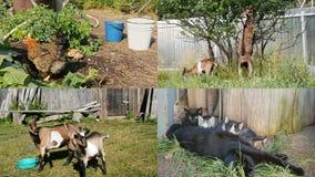 4 en 1: Animales domésticos en el pueblo - pollo, gato, cabra - alimentando y caminando metrajes