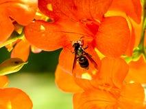 En annalkande nektar för bi från en kinesisk blomma för trumpetranka arkivbilder