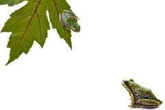 en annan groda som ser till treen upp Arkivfoton