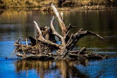 En annan härlig bild av rotar att klibba ut ur vatten Arkivfoto