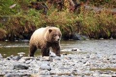 en annan skjuten björn Royaltyfri Fotografi