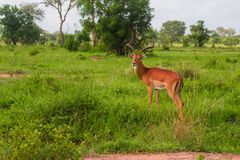 En antilope står i grönt gräs i Afrika Arkivbild