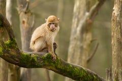 En apa för behandla som ett barnbarbary macaque Arkivbilder