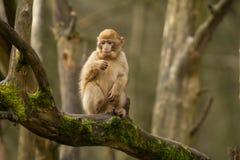 En apa för behandla som ett barnbarbary macaque Fotografering för Bildbyråer