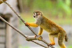 En apa klättrar repet Fotografering för Bildbyråer