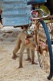 En apa och en gammal rostig cykel Arkivbild