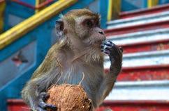 En apa och hans kokosnöt Arkivfoto