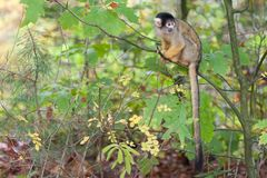 En apa på zoo royaltyfria foton