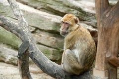 En apa sitter på ett träd En blick bakifrån arkivbilder