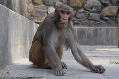 En apa som äter havre och torkade ärtor royaltyfri fotografi