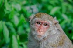 En apa som ser till kameraman, zoo Royaltyfri Bild