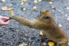 En apa tar en ny banan från en mans hand arkivfoto