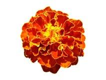 En apelsin för fransk ringblomma och gulingblomma som isoleras på vit Royaltyfri Foto