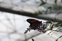 En apelsin, svartvitt bakbelyst på en purpurfärgad blomma royaltyfria bilder