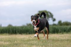 En appenzellerberghund som k?r p? gr?set arkivfoton