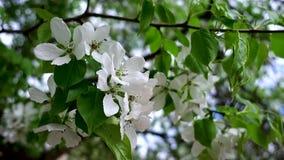 En Apple trädfilial med stora fladdranden för vita blommor stock video