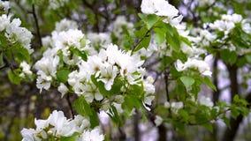 En Apple tr?dfilial med stora fladdranden f?r vita blommor stock video