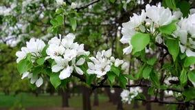 En Apple tr?dfilial med stora fladdranden f?r vita blommor arkivfilmer