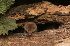 En araneus för Sorex för gemensam näbbmus för jakt Royaltyfri Foto